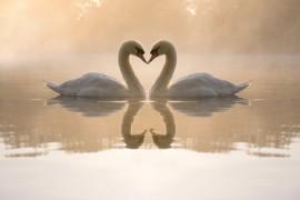 Interpretar un cisne, coffeedomancia